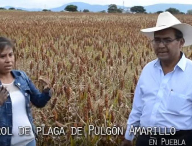 Control de Plaga de Pulgón Amarillo en Puebla